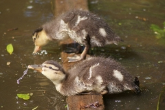 Hanley Swan wildlife
